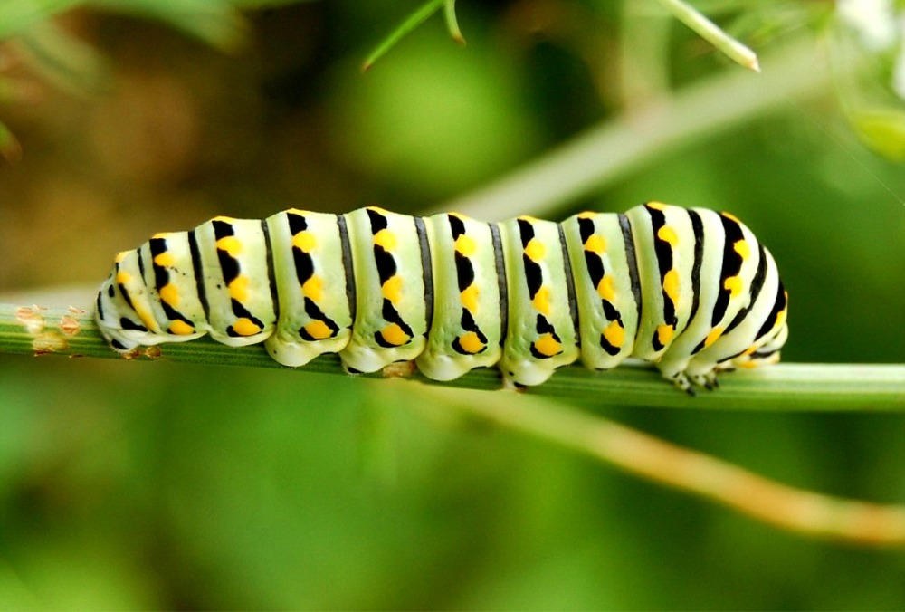 lep_black_swallowtail_caterpillar772